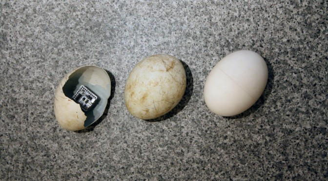 Two real vulture eggs and one EggDuino